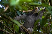 Pale throated three toed sloth on a branch - French Guiana