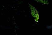 Anolis d'Orton sur feuille - Nouragues Guyane Française