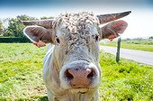 Young Charolaise bull portrait