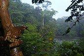 Rainette Kunawalou sur tronc - Nouragues Guyane Française ; Cette rainette est une espèce arboricole ne descendant qu'exceptionnellement sur le sol de la forêt. Nocturne et capable de monter en canopée à près de 30 mètres de hauteur, il est très difficile de réaliser des images de cet animal furtif. <br>Herpétologiste reconnu mondialement, Philippe Gaucher (CNRS Guyane) a consacré sa vie à l'étude de cette espèce. Depuis 3 ans, il tente de percer l'interaction qui existe entre cette grenouille et un dendrobate (Dendrobates tinctorius) qui vient parasiter sa progéniture. Il a ainsi équipé plusieurs dizaines d'arbres avec des pièges sonores.? La zone d'étude, en plein cœur de la forêt primaire, reste cependant très difficile d'accès.