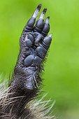 Western european hedgehog - Belgium ; European Hedgehog, foot, Belgium / (Erinaceus europaeus)