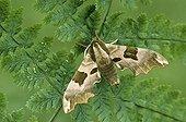 Moth - Belgium ; Lime Hawk-moth, Belgium / (Mimas tiliae)