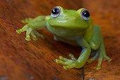 Portrait de Rainette, Montagne de Kaw, Guyane Française. Lorsqu'elle est exposée à une lumière ultraviolette, la peau de cette grenouille émet une lumière fluorescente vert clair