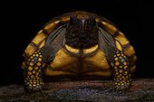 Young Wood Turtle - Nouragues French Guiana