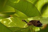 Amazona Tree Boa on Banana Leaf - French Guiana