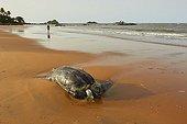 Tortue luth tuée par les filets de pêche - Guyane Française