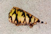 Marbled cone on sand - New Caledonia