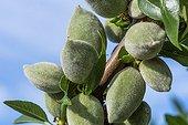 Almond tree in fruit in a garden