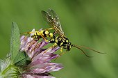 Parasitic wasp on Clover flower - Northern Vosges France