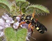Abeille nomade sur fleurs - Vosges du Nord France ; abeille parasite d'Andrena fuscipes