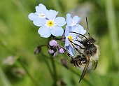 Red Mason Bee on Myosotis flowers - Northern Vosges France