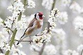 Goldfinch on blossom- Warwickshire England UK