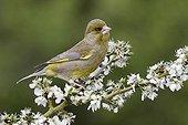 Greenfinch on blossom- Warwickshire England UK