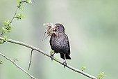 Blackbird female with nest material - Warwickshire England