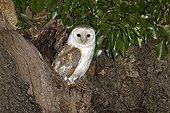 Barn owl at hole in tree - Warwickshire England UK