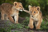Lion cubs larking about in the early morning - Masai Mara