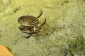 Diving Beetles mating in a pool - Prairie Fouzon France