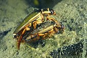 Great Diving Beetle mating in a pool - Prairie Fouzon France