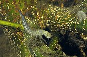 Great Diving Beetle larva in a pond - Prairie Fouzon France