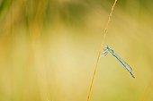 Agrion sur une tige - Prairies du Fouzon France