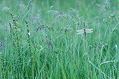 Dewy Clubtail warming at dawn - Prairie Fouzon France