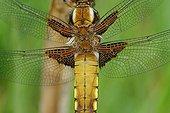 Eurasian Red Dragonfly warming - Prairie Fouzon France