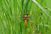 Eurasian Red Dragonfly warming - Prairie Fouzon France ; during the emergence