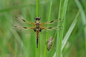 Four-spotted Skimmer warming - Prairie Fouzon France ; during the emergence
