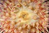 Painted Anemone - Pacific Ocean Alaska USA