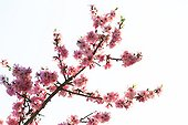 Almond tree in bloom in the Vaucluse - France
