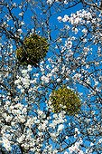 Mistletoes on almond tree in bloom in the Vaucluse - France