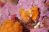 Giant brooding anemone on reef - Alaska Pacific Ocean