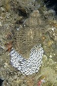 Oregon Triton laying eggs - Pacific Ocean Alaska