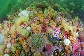 Sea anemones and Sponges on the reef - Alaska Pacific Ocean