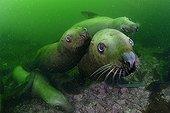 Steller sea lions underwater - Kasaan bay Alaska