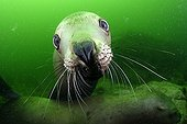 Portrait of Steller sea lion underwater - Kasaan bay Alaska