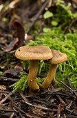 Surprise Webcaps undergrowth - Denmark