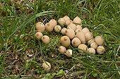 Stump Puffball in grass - Denmark  ; Edible young
