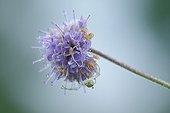 Goldenrod Spider on flower - Prairie Fouzon France