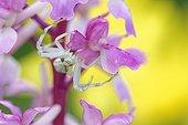 Goldenrod Spider on Orchid flowers - Prairie Fouzon France