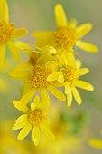 Goldenrod Spider (Misumena vatia) on yellow flowers - Prairie Fouzon France