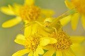Goldenrod Spider on yellow flowers - Prairie Fouzon France