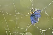 Spider catching a Butterfly - Prairie Fouzon France