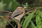 Brahminy Starling on a branch