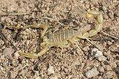 Yellow Scorpion on ground - Plaine des Maures France