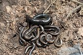 Millipedes in the scrub - Plaine des Maures France  ; under a stone