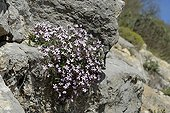 Rock Soapwort flowers - Alps foothills of Grasse France