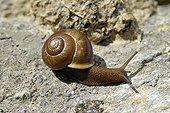 Copse Snail on rock- Mont Mucrone Biella Alps Italy