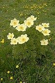 Sulfur Pasque flowers - Val di Gressoney Alps Italy  ; Near Lake Gabiet