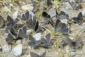 Geranium Argus on ground - Val di Gressoney Alps Italy